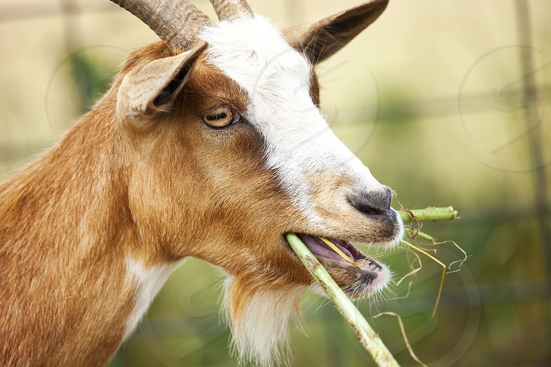Farm Animal - Goat Chewing Weeds photo