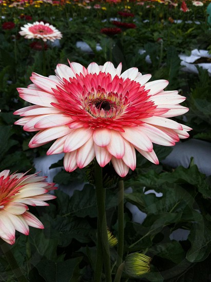 Pink flower petals photo