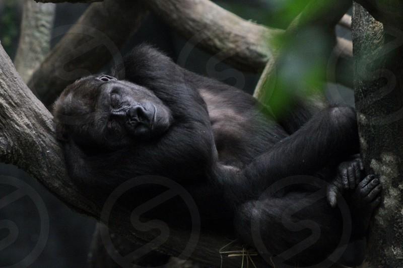 Monkey sleeping wildlife animals tree leaves rest cute photo