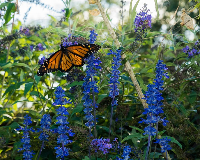 monarch butterfly perching on blue petaled flower during daytime photo