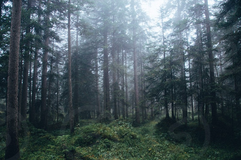 Foggy and mysterious woods photo