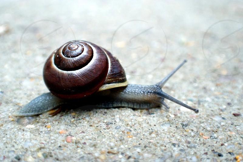a summer snail slowly crossing the sidewalk.  photo