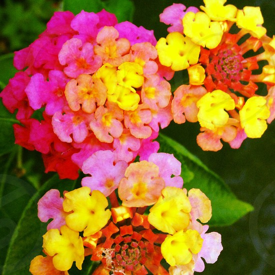 Rainbow flowers  photo