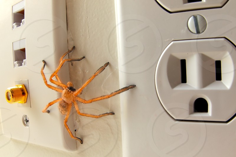 A Wolf Spider native to Arizona prowling the wall of a home looking for prey. Note how the electrical outlet on the right kind of resembles a face that is horrified at the presence of the spider. photo