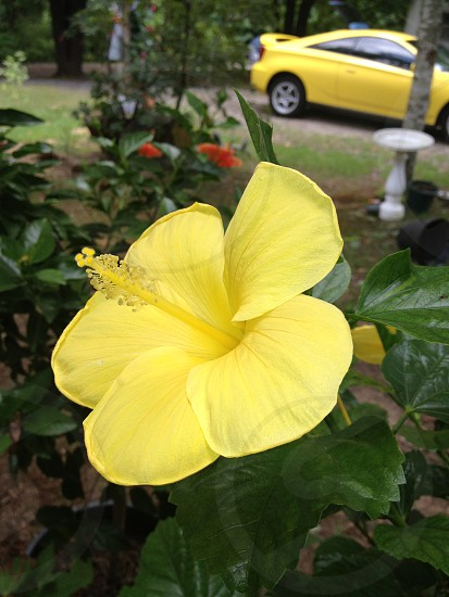 Yellow Car and flower photo