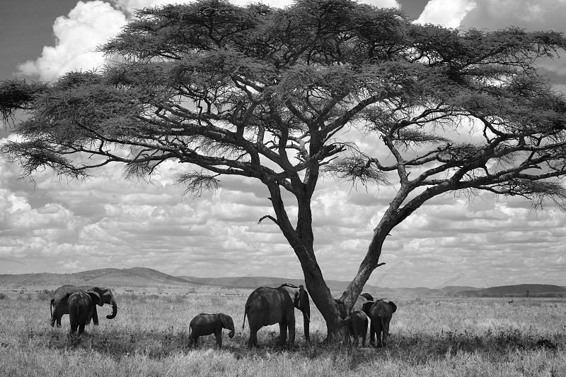 Elephants Wildlife Wild Animals Big Animals Trees African Landscape African Safari photo