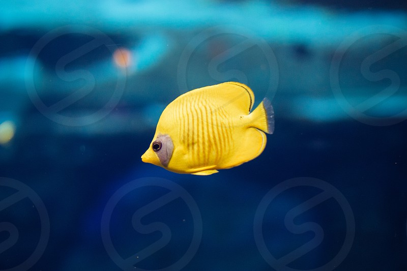 Small yellow fish is swimming in the water photo