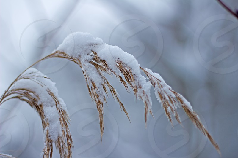 Ear of Corn in the Snow  cold snow seasonal bent heavy photo