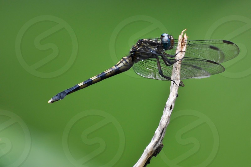 Dragonfly at rest photo
