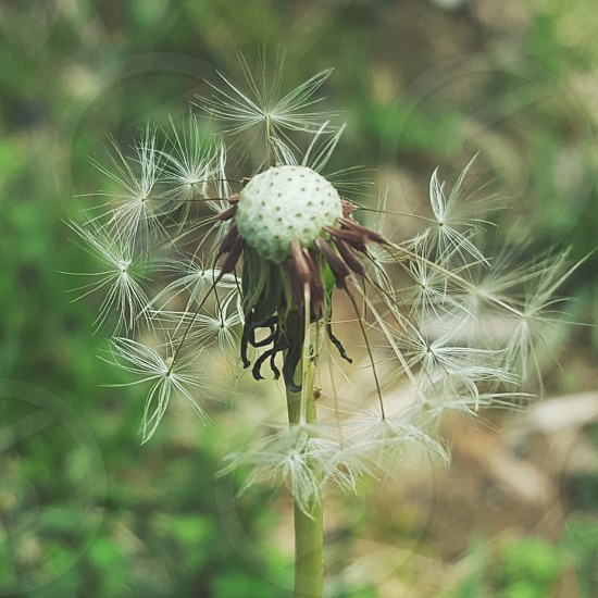 Partially naked Dandelion macro. photo