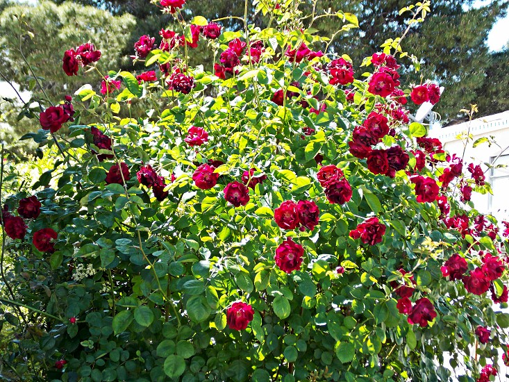 red rose plant photo