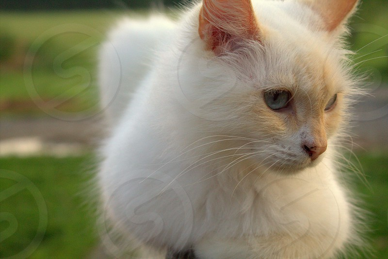Flame Tip cat with bright blue eyes. photo
