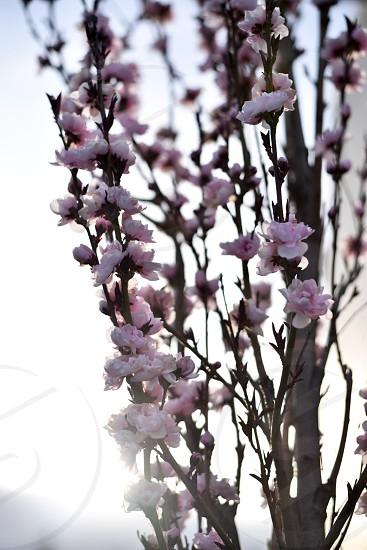 Spring bloom pink flowers photo