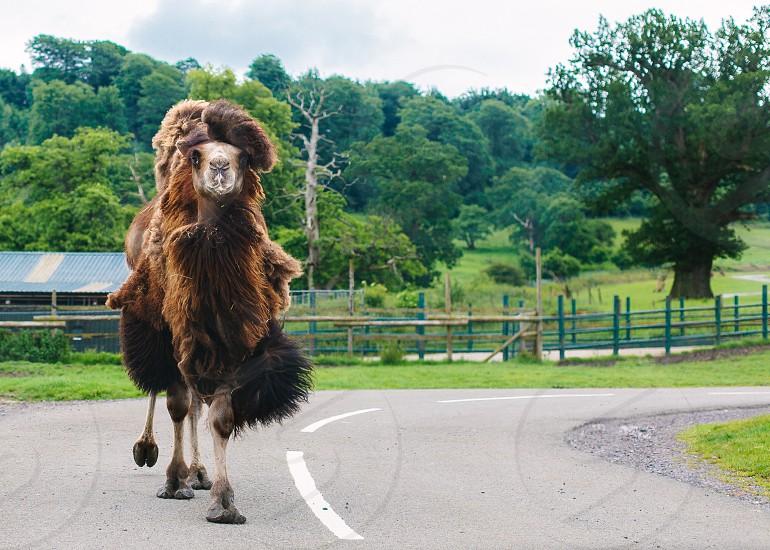 Flamboyant camel approaches via road photo