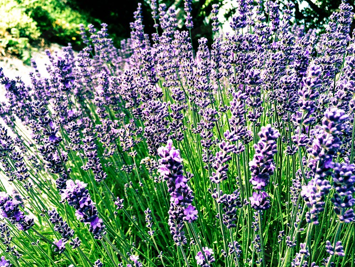 Lawn and garden landscaping lavender flower stems  photo
