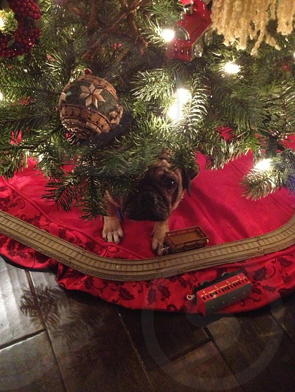 Pug under Christmas tree photo