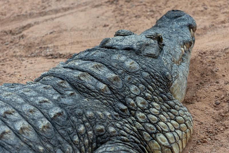 VALENCIA SPAIN - FEBRUARY 26 : Crocodile at the Bioparc in Valencia Spain on February 26 2019 photo