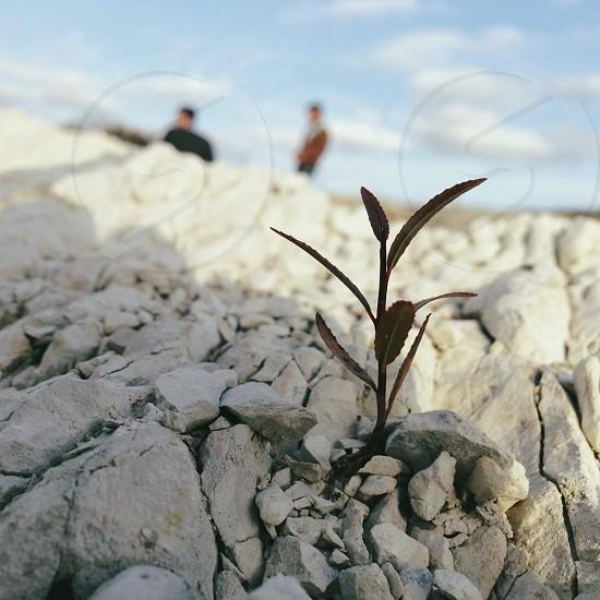 plant dark red in rocks photo