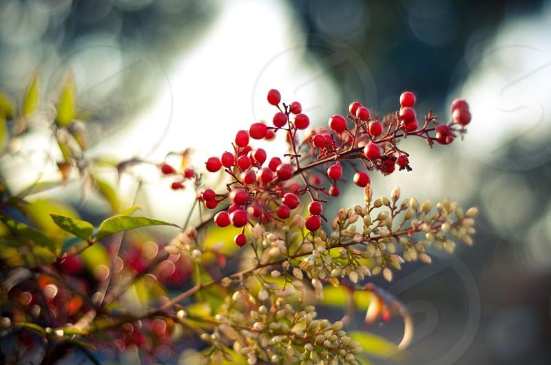 Holly Bush. Plants. photo