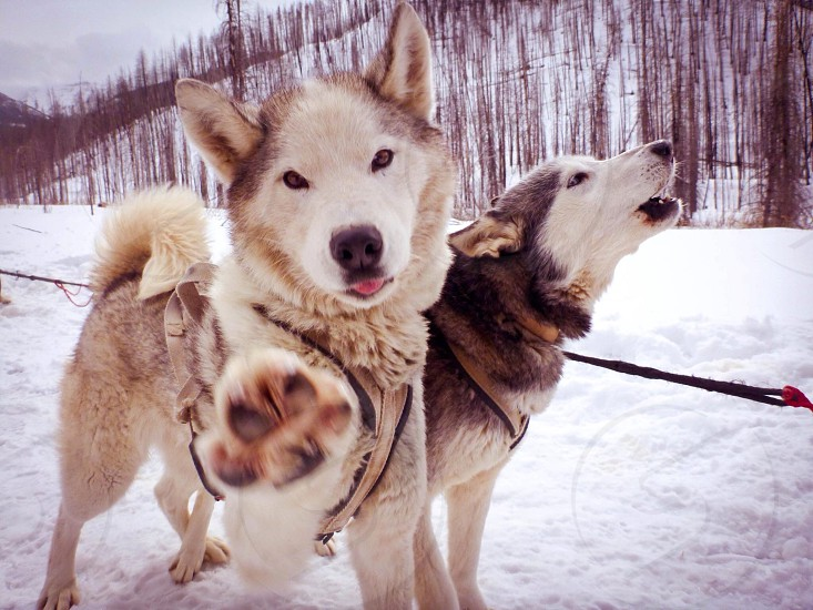 Playful sled dogs ready for a run near Chico Hot Springs Montana photo