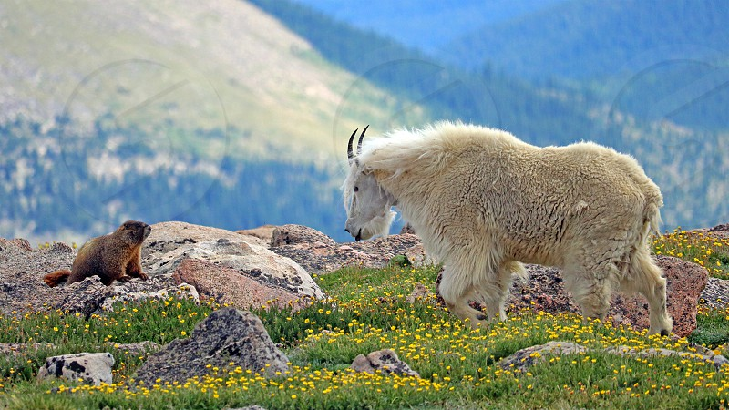 A mountain goat confronts a marmot near the summit of Colorado's Mount Evans. photo