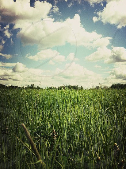 green wheat field with cumulus clouds photo