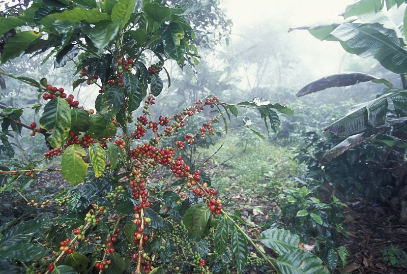 AMERICA LATIN AMERICA CENTRAL MAERICA HONDURAS COPAN PLANTATION CAFE KOFFEE KOFFE AGRACULTURE NATURE PLANT photo