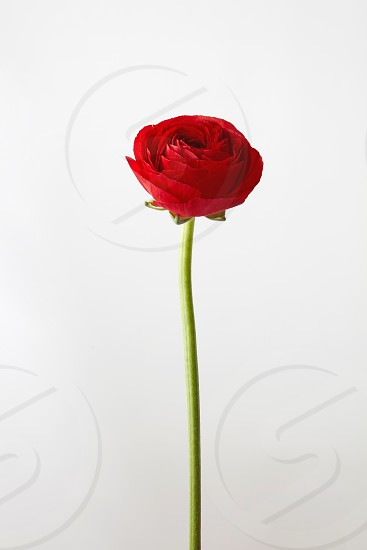 beautiful red ranunculusflower isolated on a white backgroundgreeting card for valentine's day photo