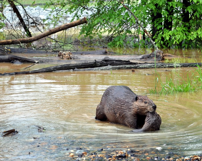 Flood waters in North West Tennessee forced this mother beaver to leave her home and carry her baby to higher ground. photo