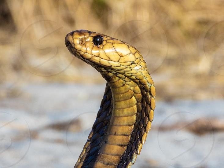 Cape Cobra (Naja nivea) a highly venomous snake (reptile). photo