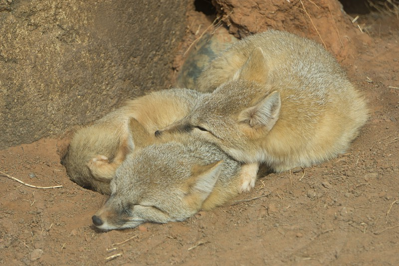 Sleepy Foxes photo