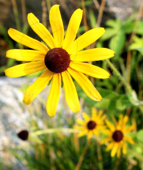 Brown Eyed Susans photo