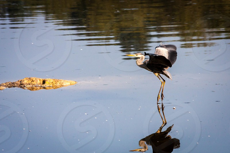 Grey Heron Coming in to Land photo