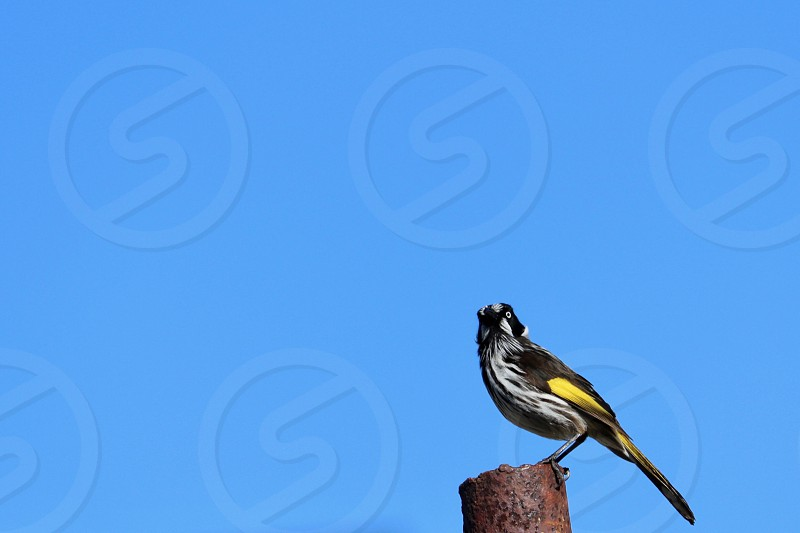 Black Yellow Bird Honeyeater Species Minimalism Perched Post Metal Sky Background Backdrop Nature Wildlife Australia Australian One Animal Birdwatching Facing Closeup Clear Blue Vivid Sky Summer Curiosity Copy Space Text