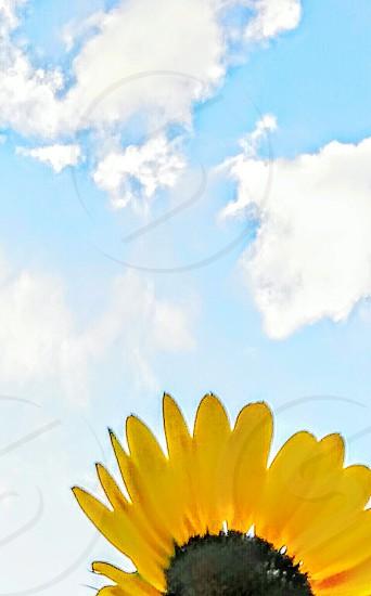 #sunflower #yellow #sky #petals #clouds photo