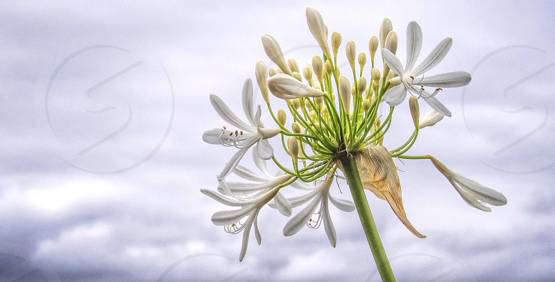 Flower overcast clouds sky perspective close-up white stem seeds  photo