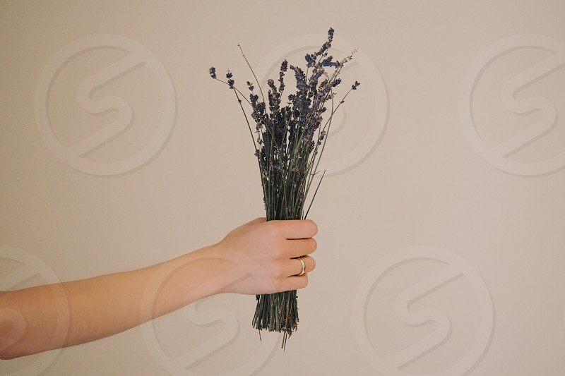 hand holding lavender  photo