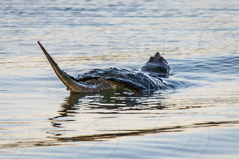 While swimming in a lake this large snapping turtle simultaneously lifted its head and tail out of the water. photo