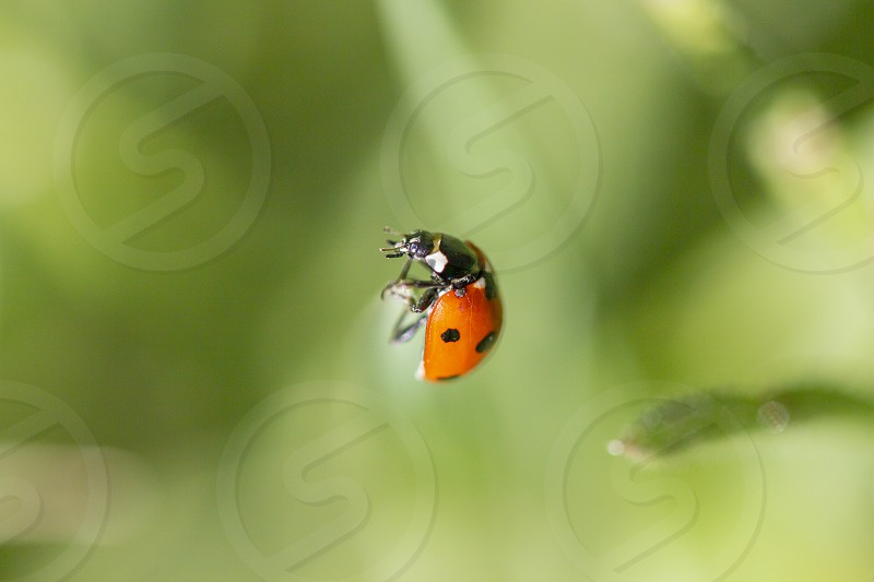 A macro shot of a ladybird on my afternoon spring walk. photo