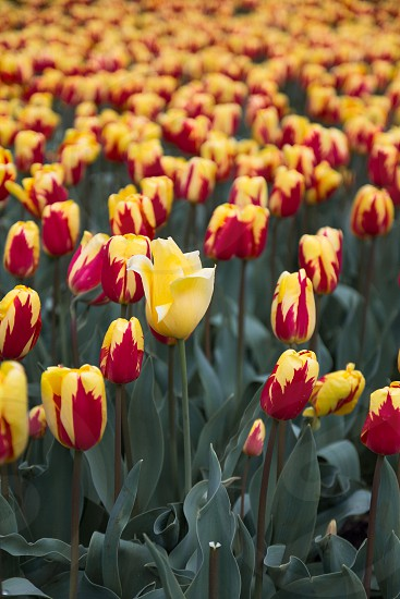 yellow and red tulips flower during daytime photo