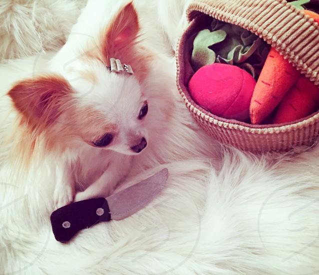 Chihuahua • dog • animal • pet • adorable  photo