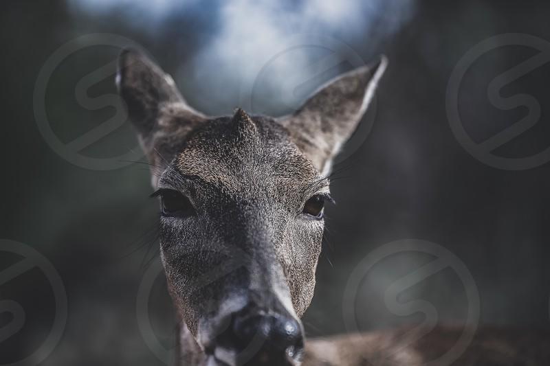 Doe a deer a female deer. photo