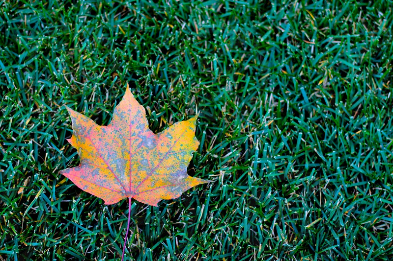 fall autumn change of seasons maple leaf leaves grass nature photo
