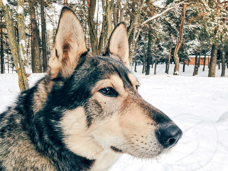 Husky portrait photo