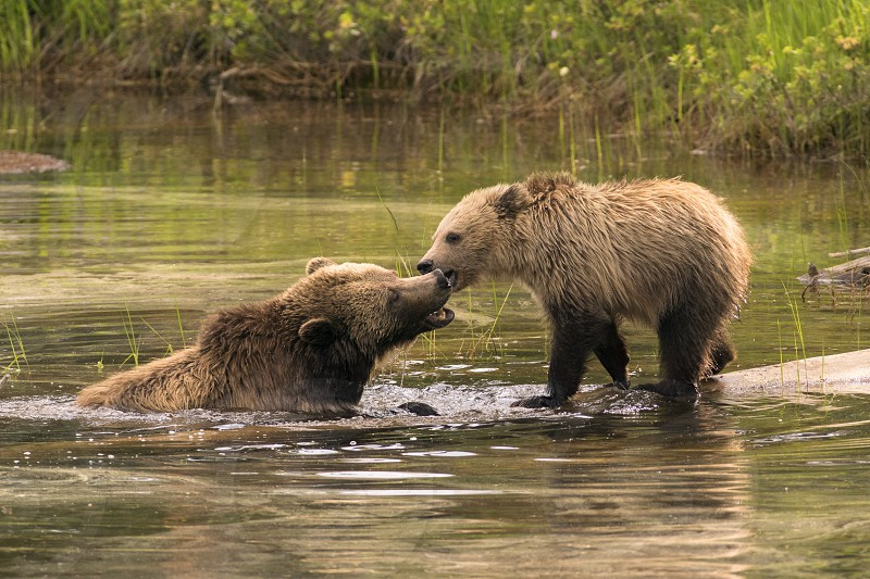 A grizzly sow tries to convince her young cub to join her in a pond. photo