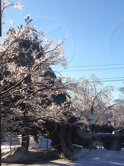 Evergreen icy tree photo