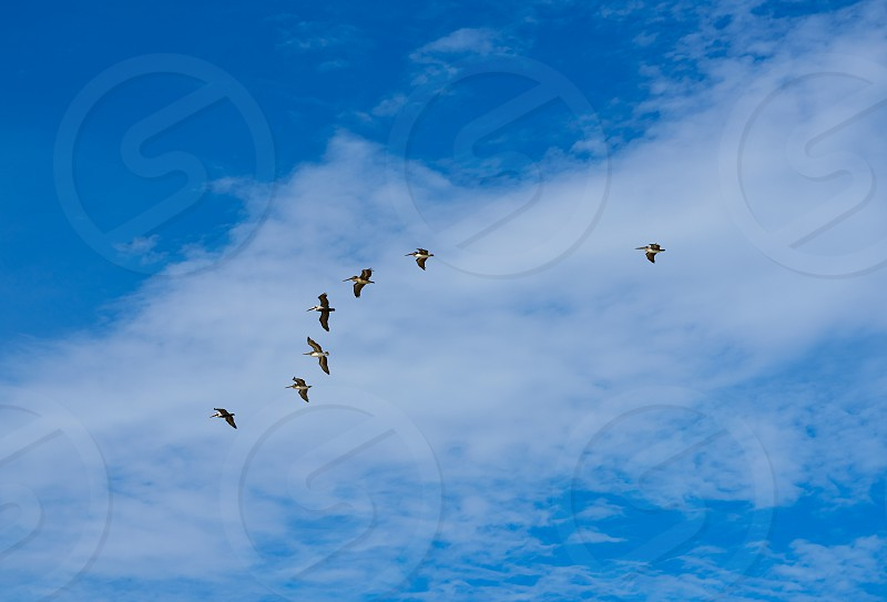 Pelicans flying together on blue sky in Mayan riviera of Mexico photo
