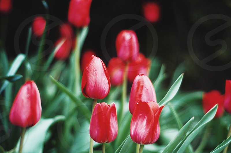 selective focus photography ofred petaled flower photo