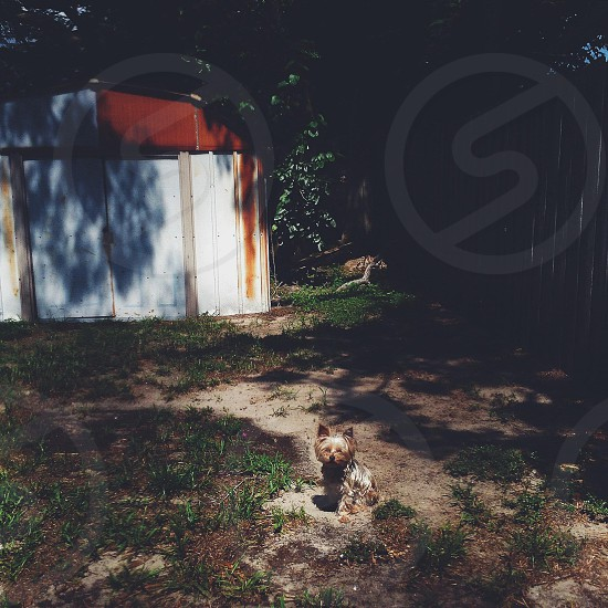 gold and black Yorkshire terrier sitting on ground beside a close shed underneath a tree at daytime photo