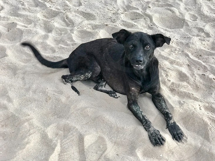 dog animal pet black bark cute canines photo